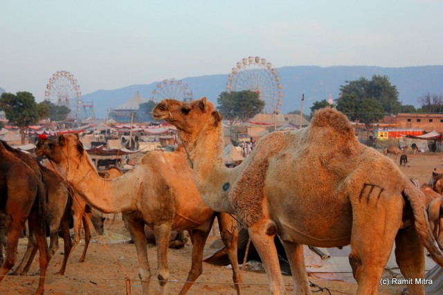 For the first 4-5 days of the Mela, Camels are the main focus for people, with almost 60000 camels converging on the sand dunes outside of the small town of Pushkar.